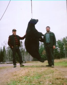 State record trapped bear 590 pounds